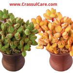 "Crassula rogersii ""globulea rogersii""-[Detailed Growth & Care Guide]"