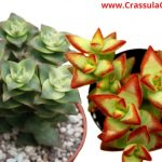Crassula perforate (String of buttons)-[Ultimate Guide For Care & Growth]