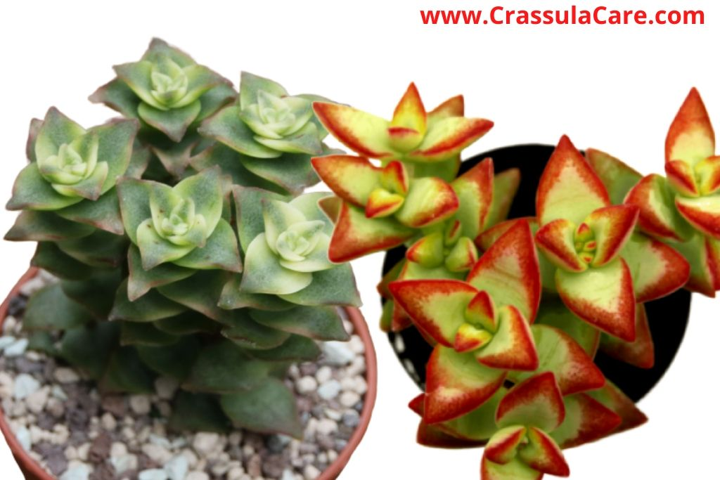 crassula perforata (String of buttons)