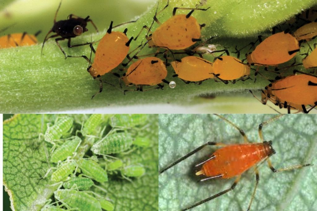 mealy bugs, Aphids and vine weevil