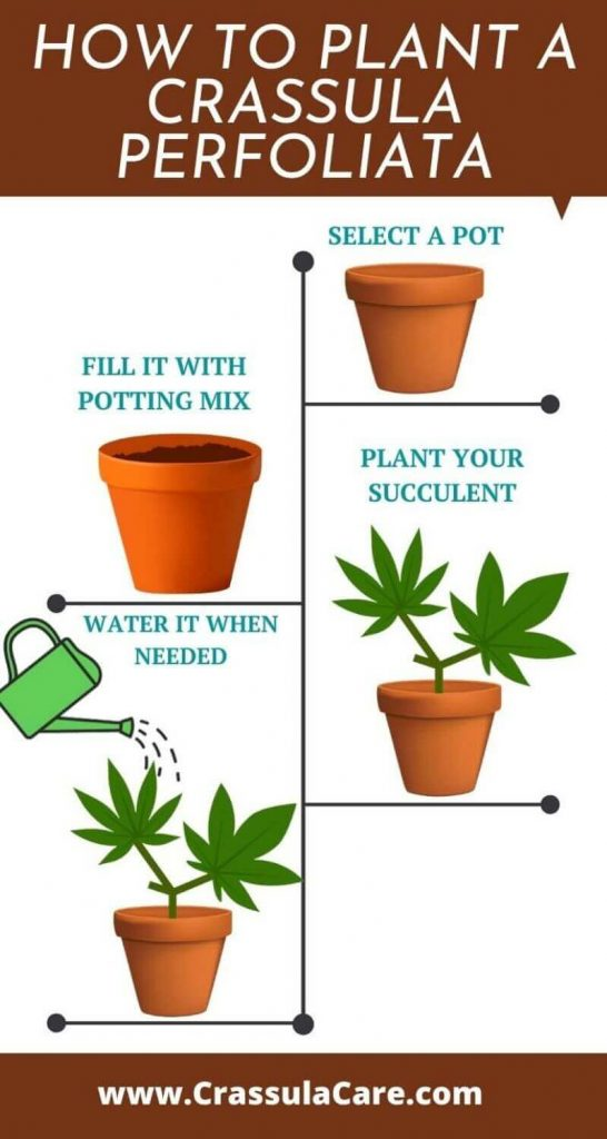 How to plant a propeller plant