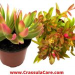 Crassula Capitella (crassula campfire)-Caring Guide, Uses & FAQs