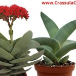 "Crassula Falcata ""propeller plant"" Growth, Care, & Propagation - FAQs"