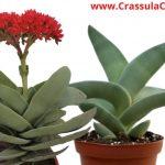 "Crassula Falcata ""propeller plant"" Growth, Care, & Propagation - FAQs"