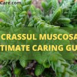 Crassula Muscosa(Rattail Crassula)-Ultimate Caring & Propagation Guide
