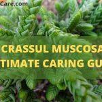 Crassula Muscosa(Rattail Crassula)-Ultimate Caring & Propagation Guide