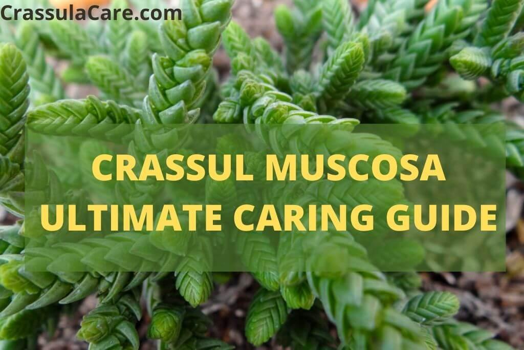 Crassula Muscosa(Rattail Crassula)