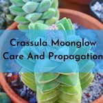 Crassula Moonglow-Detailed Guide About Care And Propagation