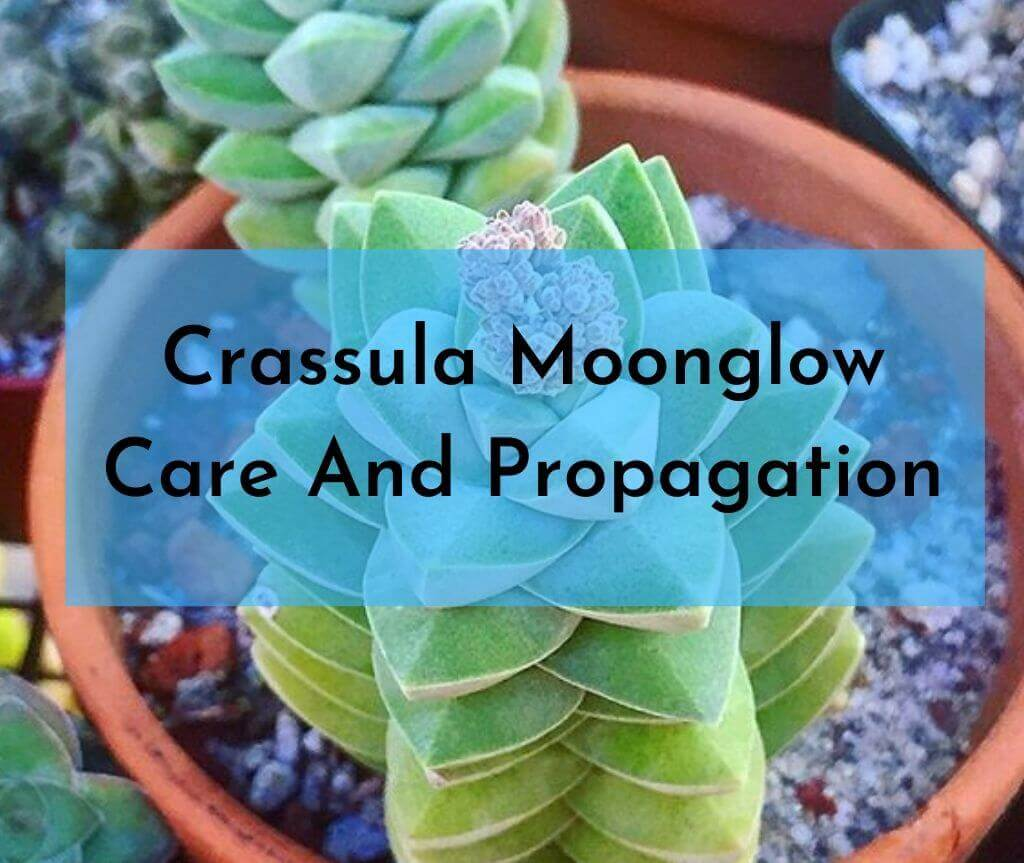 Crassula Moonglow