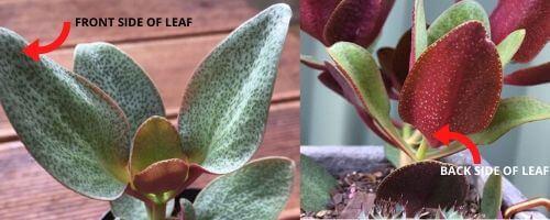 Leaves of Carssula Streyi (pondoland crassula)