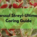 Crassula Streyi (Pondoland crassula)-Detailed Step by Step Caring Guide
