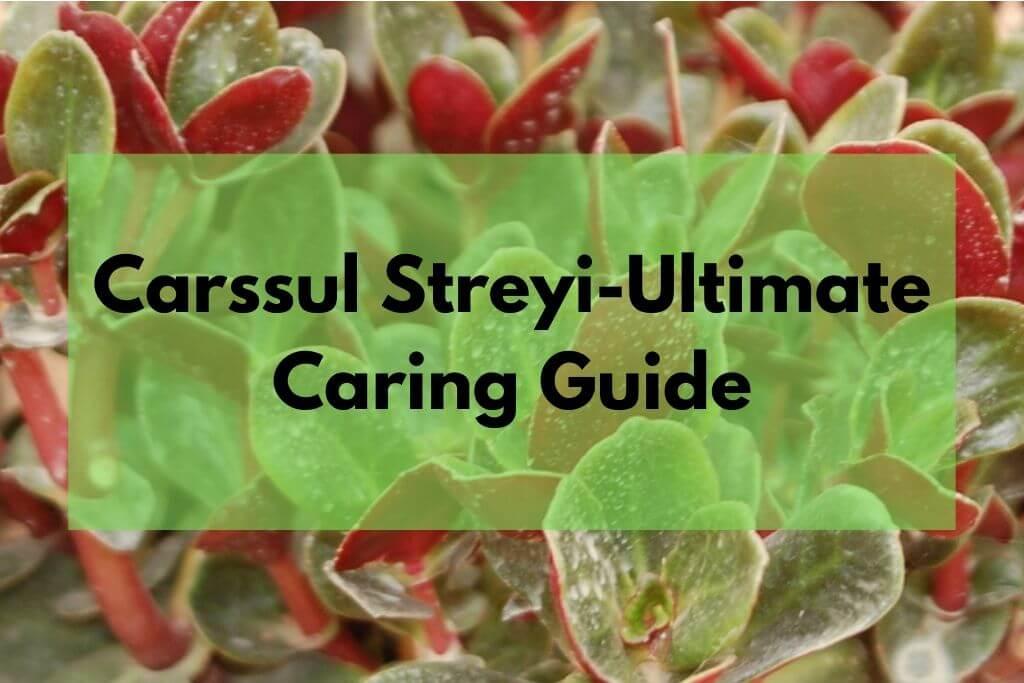 Carssula Streyi (pondoland crassula)