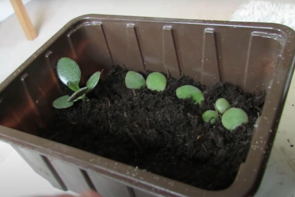Crassula Arborescens Silver Dollar Jade Propagation