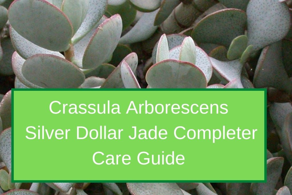Crassula Arborescens Silver Dollar Jade